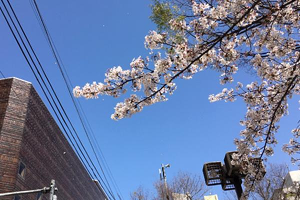 ブログ用桜前線 01