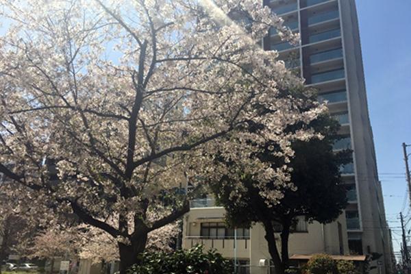 ブログ用桜前線 03